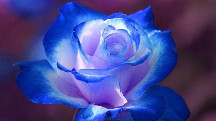 """роза """"голубой нил"""""""