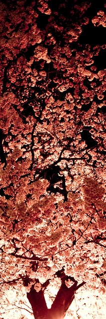 Cherry blossoms at night in Japan
