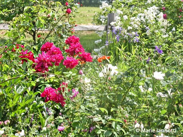 Cottage gardens evoke visions of billowy flowers growing into and through one another. The first step is choosing the right plants. Here are 7 top contenders.