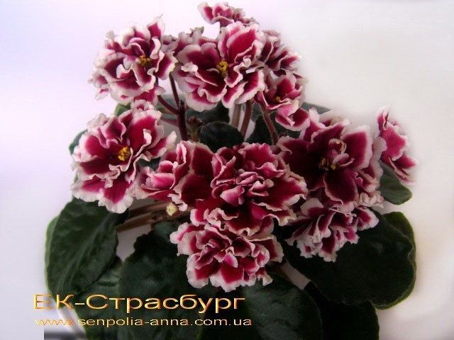 ❤️~African Violet/ Saintpaulia~❤️~Leaf/ EK-STRASBURG/ Ukrainian, NEW   Home & Garden, Yard, Garden & Outdoor Living, Plants, Seeds & Bulbs   eBay!