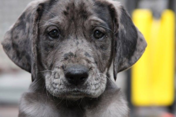 Daniff (Mastiff/Great Dane Mix)   We have two that look exactly like this!
