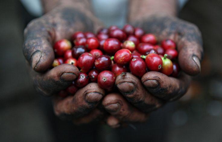 Kedua istilah ini cukup sering ditemukan dalam dunia kopi. Tapi apa beda keduanya? ADA perjalanan panjang yang harus dilalui buah/ceri kopi sebelum ia sampai ke cangkir para penikmat kopi dalam bentuk minuman. Dari mulai dipetik sampai diseduh, masing-masing tahap ini umumnya punya standar masing-ma…