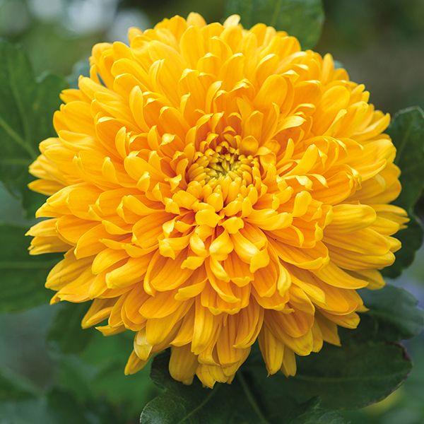 Chrysanthemum spanish chrysanthemums 1000 images about flowers mums on pinterest fall flowers autumn mightylinksfo