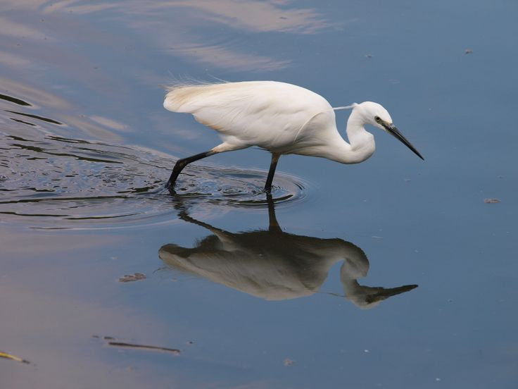 Little egret taken by Machiel van Niekerk at Austin Roberts bird sanctuary, Pretoria, South Africa