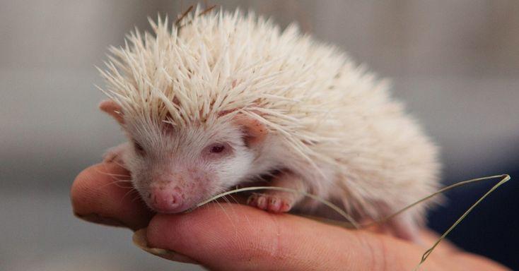 Albino Hedgehog
