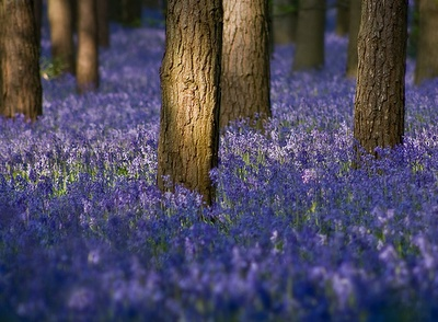 Walk thru the blue bell woods in the English Countryside.