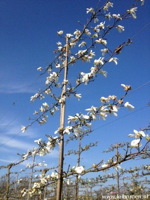 LEIBOOM Magnolia kobus Nederlandse naam: Beverboom www.leibomen.nl