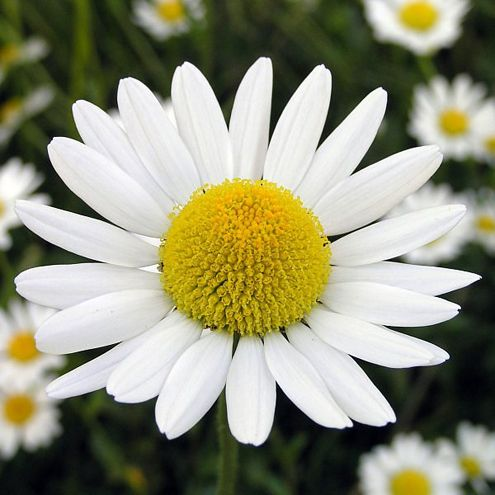 #Chamomile: Made from the flowering tops of the Matricaria recutita, chamomile is an effective remedy for a number of various ailments. In fact, chamomile is perhaps the world's most soothing herb, helping to relieve anxiety and insomnia. Top 3 benefits  include anti-inflammatory, anti-spasmodic, and anti-bacterial. #Chamomile