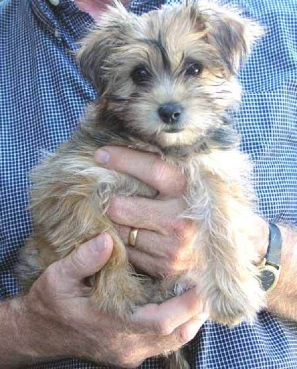 maltese yorkie mix price 17 best images about dog hoarder on pinterest maltese 7924