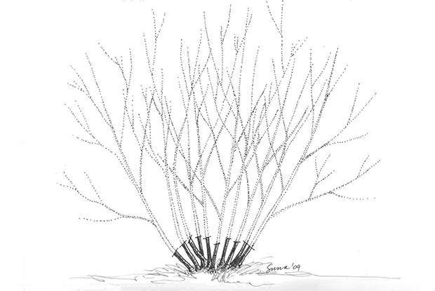 Taille de rajeunissement - Recépage | Espace pour la vie Taille d'entretien Pour maximiser la floraison, les arbustes qui fleurissent sur le bois de l'année devraient être taillés tôt au printemps. Il s'agit essentiellement de végétaux à floraison estivale, tels que l'hydrangée arborescente (Hydrangea arborescens), la potentille ligneuse (Potentilla fruticosa) et la spirée du Japon (Spiraea japonica).