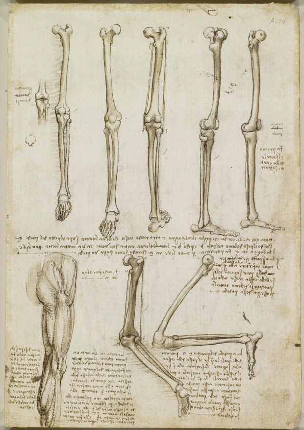 Leonardo da Vinci's Rare Anatomical Drawings | Brain Pickings: Five studies of the bones of the leg and foot; a drawing of the knee joint and patella; two studies of the bones of a right leg with the knee flexed; the muscles of a right buttock, thigh and calf.    Royal Collection © Her Majesty Queen Elizabeth II