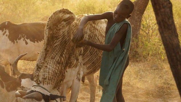 Zur Wertschätzung erhalten die Rinder der Mursi eine besondere Bemalung mit Erde und Dung. ( Deutschlandradio / Josepha Elmar)