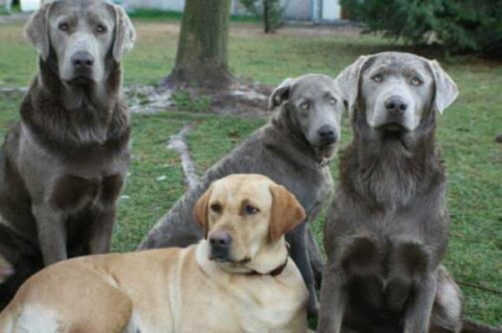 Silver labrador puppies florida