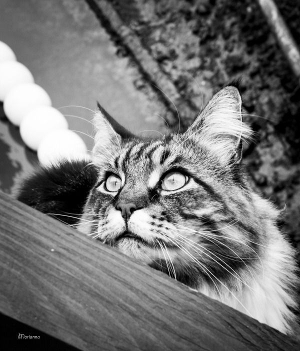 Maine Coon cats pictures, photos and images taken in Venice, Italy http://www.traveling-cats.com/2017/07/cats-from-venice-italy.html (Maine Coon gatti Venezia Italia, Maine Coon gatto Venezia Italia, Maine Coon kittens, Maine Coon cats big, Maine Coon cats beautiful, cute Maine Coon cats)