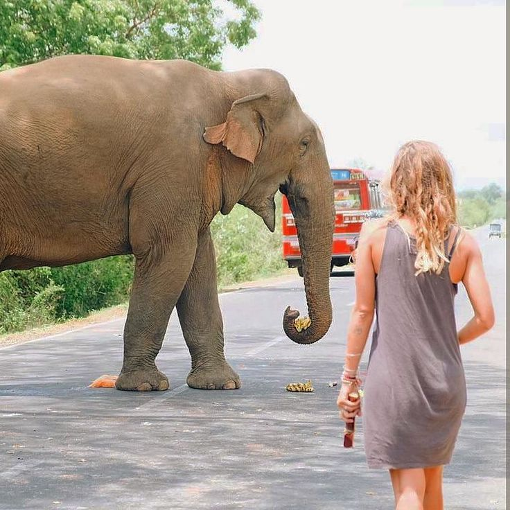 Elephant Roadblock @  Sri Lanka https://www.srilankatravelandtourism.com/places.php  Sri Lanka Travel Tour Operator. Explore Sri Lanka with Us. Mobile-WhatsApp-Viber 94 777854022  Photo by @shantal_indo  #srilanka_travel  #francetravel #infintypool #amazingnature #beautifulmountains #amazingsky #italytravel #bahraintravel #uktravel #germanytravel #spaintravel #norwaytravel #kuwaittravel #qatartourism #italytourism #italytour #australiatravel #australiatour #uktour #usatravel #usatour…