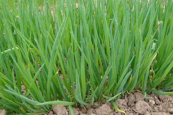 МАЛЕНЬКИЕ СЕКРЕТИКИ САДОВОДУ- ОГОРОДНИКУ 1. Йод для капусты. В ведро воды добавить 40 капель йода. Когда начнет формироваться кочан, поливать капусту под растение по 1 литру.  2. Ускорение пророста. Чтобы семена быстрее проросли их замачивают в растворе перекиси водорода (4%) на 12 часов (капуста), а семена помидоров и свеклы - на 24 часа. Для обеззараживания семян (вместо марганцовки) их обрабатывают 10% перекисью водорода 20 минут. Соотношение раствора и семян 1:1. Затем семена промывают и…