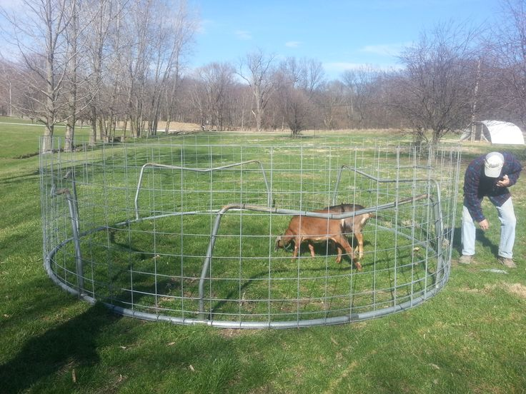 This is my goat pen. It is made out of cattle panels and an old trampoline frame. None of our goats have ever escaped. We pull it through the yard with our riding mower. My favorite thing about it is the fact that I can also use it as an anchor for tie-outs. There are no corners for the goats to catch their line on!