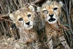 Please support to save our wildlife! http://www.youcaring.com/i-ll-treated-lions-destined-for-canned-hunting-415859