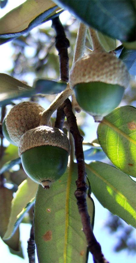 Hazelnuts Allergy – Causes, Symptoms and Treatment