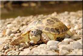 Image result for horsefield tortoise fully grown