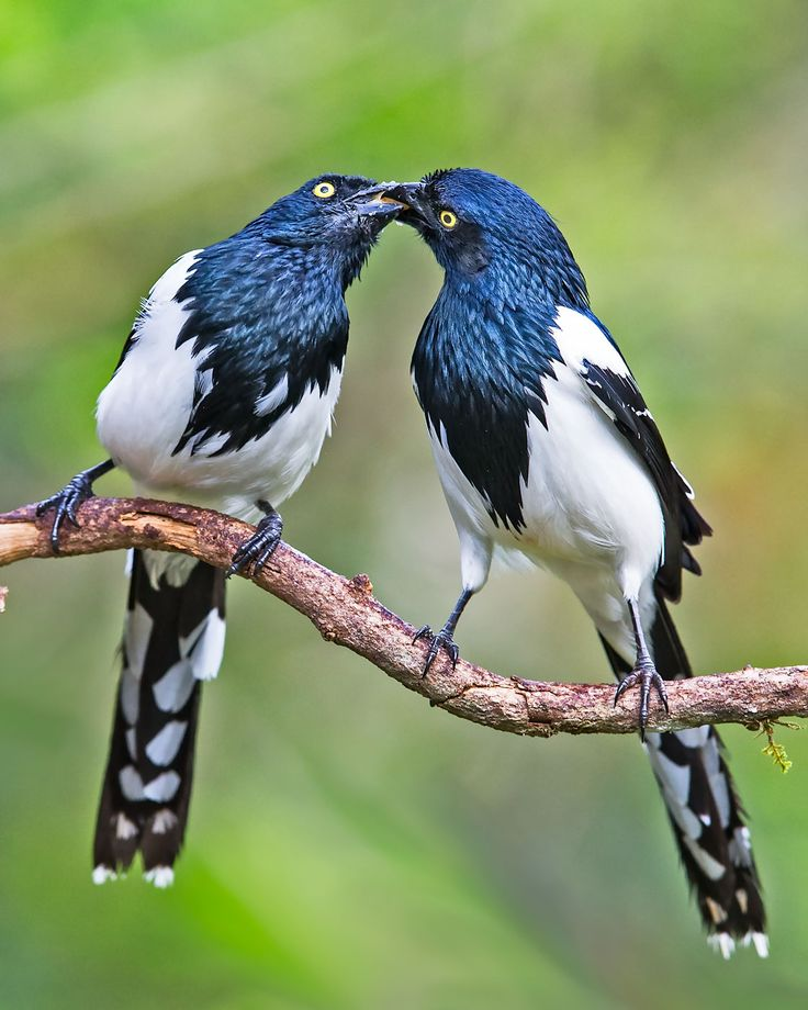 The magpie tanager (Cissopis leverianus ) is a South American species of tanager. It is the only member of the monotypic genus Cissopis. As suggested by its common name, this blue-black and white species is superficially reminiscent of a European magpie. With a total length of 25–30 cm (10–12 in), a large percentage of which is tail, it is the longest species of tanager. It weighs 69-76 g.