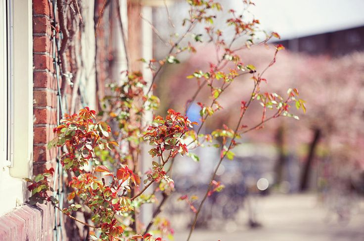 Young Rose Branches In Spring. Amsterdam by Jenny Rainbow