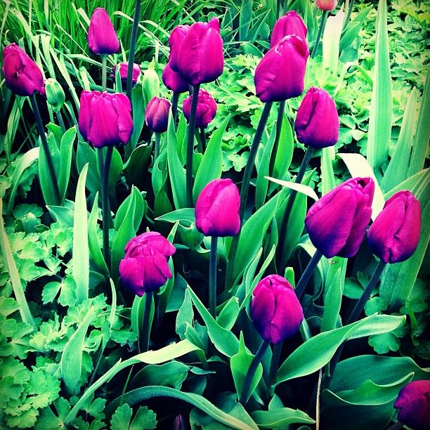 Purple Tulips at The Summer House