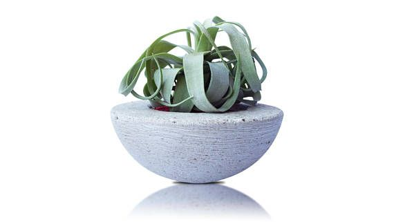 This plant can thrive well even under the driest conditions. When the leaves are more dehydrated, they curl up into tight ringlets. These Tillandsia / Air plant generally prefer less frequent waterings than many varieties. Tillandsia is placed in a beautiful stone pot to accentuate its beauty. Eventually the leaves display colors, particularly shades of pink. Not only do you get to incorporate some accents in your home, but it also doubles as a fantastic piece of décor.