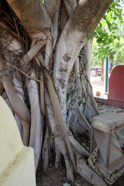 Bodhi tree, Yadanarsri Maha Hpayagyi - Pyay, Bago Region, Myanmar