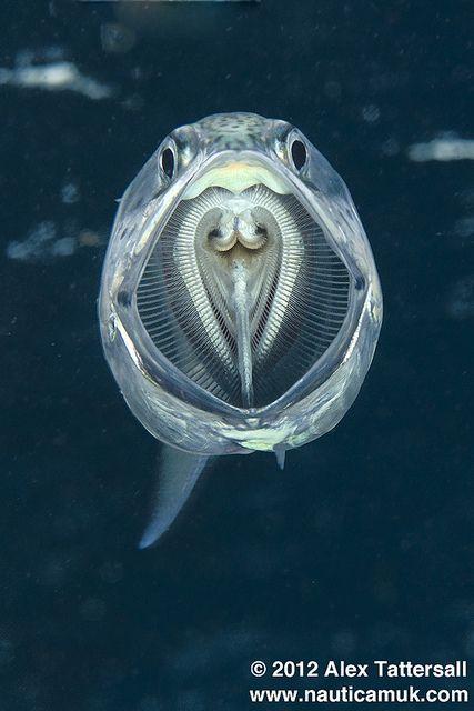 Feeding Indian mackerel (Rastrelliger kanagurta)