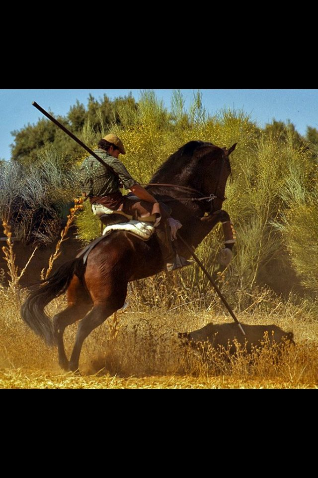 Hog hunting Wild Boar Horse. Looks like an Andalusian and his outfit is typical for a Spanish rider.