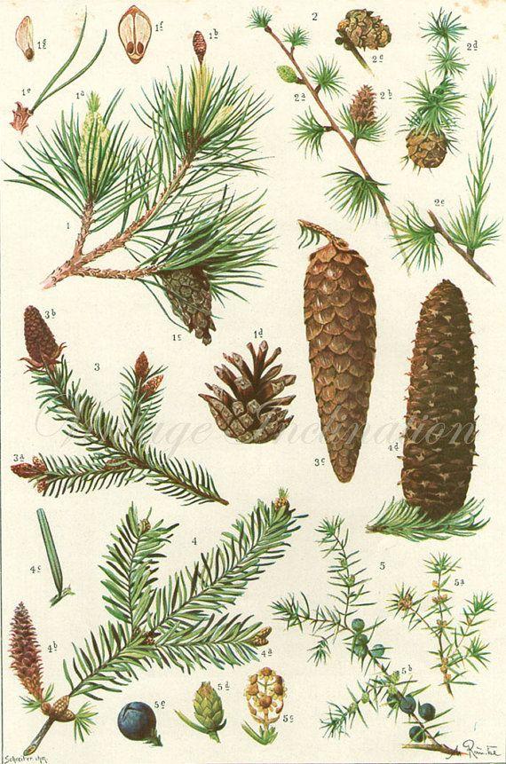 PINE CONES Vintage Botanical Print Antique by VintageInclination