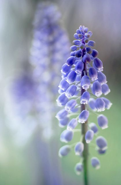"Our favourite letter is ""M"" (for Melanie of course!). So, take a look at this preciously gorgeous #flower ""Muscari"" Totally gorgeous!!"
