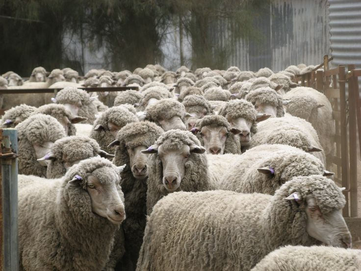 Do You Know in Australia the wool industry dates from 1797, when John Macarthur and Reverend Samuel Marsden imported Spanish merino sheep to attempt to start a wool industry.#HalcyonDreams