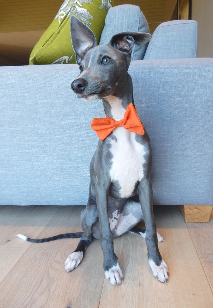 Monty is a 16 week old Italian Greyhound