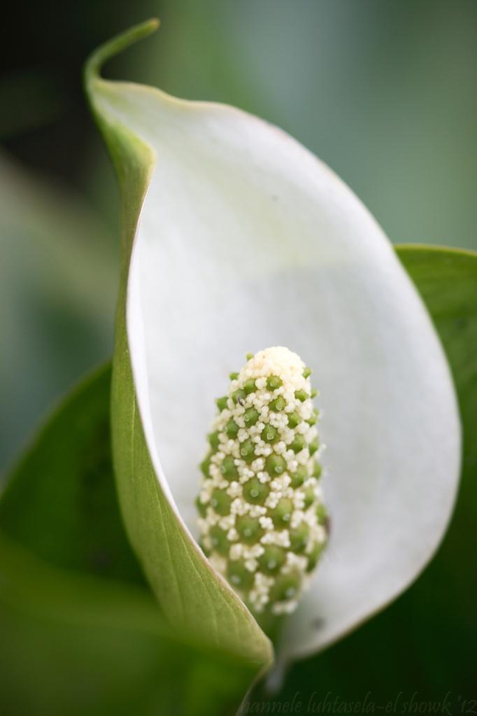 Marsh Calla Lily (Calla palustris), #macro, #floral