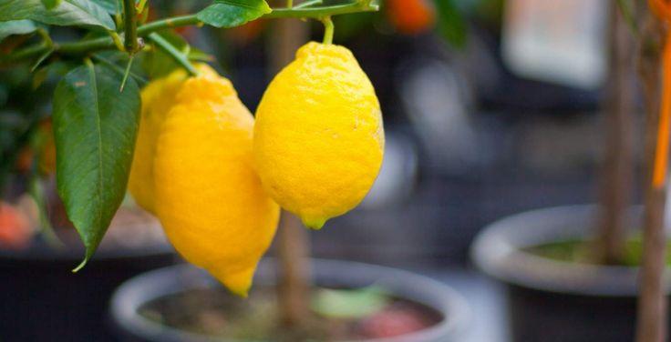 Η φυτοπροστασία της λεμονιάς