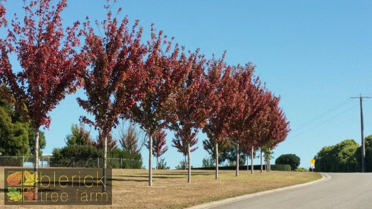 Acer x freemanni – Jeffersred or Autumn Blaze – Purchase Bare Rooted Trees Online