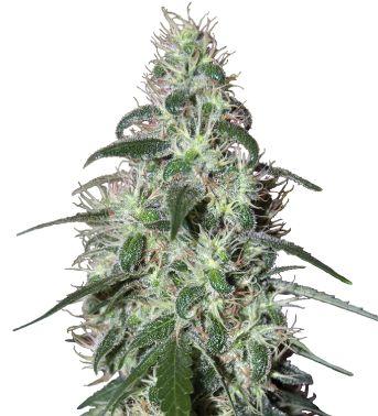 Buddha Pulsar Efecto energizante, muy estimulante, alucinógeno de risa incontrolable. No es una planta ni para cultivadores ni para fumadores inexpertos.  Floración interior 75 días.