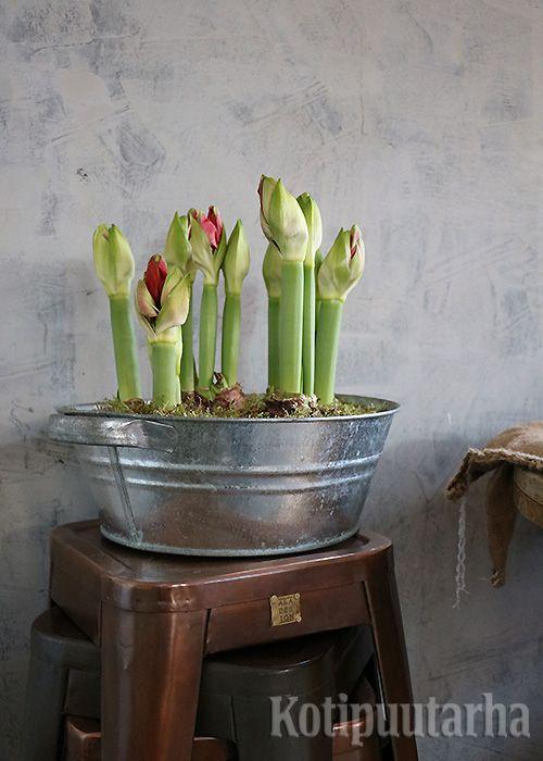 Ritarinkukat asetelmana sinkkivadissa. Näky on varmasti upea, kun ritareiden kukat avautuvat.