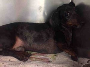 SUPER URGENT 06/29/2017 SIR – A1116912  **HIT BY CAR**  MALE, DAPPLE, DACHSHUND, 10 yrs STRAY – STRAY WAIT, NO HOLD Reason PET HEALTH Intake condition EXAM REQ Intake Date 06/29/2017, From NY 11420, DueOut Date 07/02/2017,