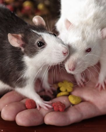 Sweet Potato Baby Food For Rats