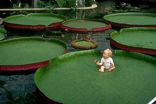 Baby on a Giant Lily Pad: The giant leaves of Victoria Amazonica grow to 6' or more. Photo by explore-kew-gardens.net