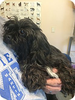Facts about Mopsy Breed: Havanese/Schnauzer (Standard) Mix Color: Black - With White Age: Adult Size: Small 25 lbs (11 kg) or less Sex: Female ID#: 2015-42  http://www.humanesocietyofmartincounty.org Address: 507 N Oak St Loogootee, IN 47553