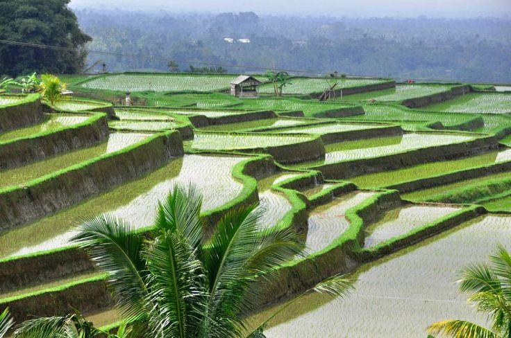 Rijstvelden in het binnenland