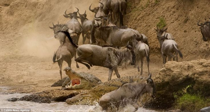 Moment a wildebeest jumps through the jaws of a hungry crocodile captured in 3 dramatic pictures (picture 3)
