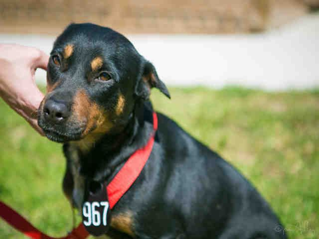 ●4•4•17 SL●EVIE - ID#A478294 I am ready to go! My name is EVIE I am a spayed female, black and brown Rottweiler mix. The shelter staff think I am about 1 year and 1 month old. I have been at the shelter since Feb 23, 2017. This information was refreshed 16 minutes ago and may not represent all of the animals at the Harris County Public Health and Environmental Services.