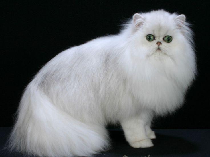 Pengen Beli Kucing Persia? Kenali Ciri-cirinya Terlebih Dahulu