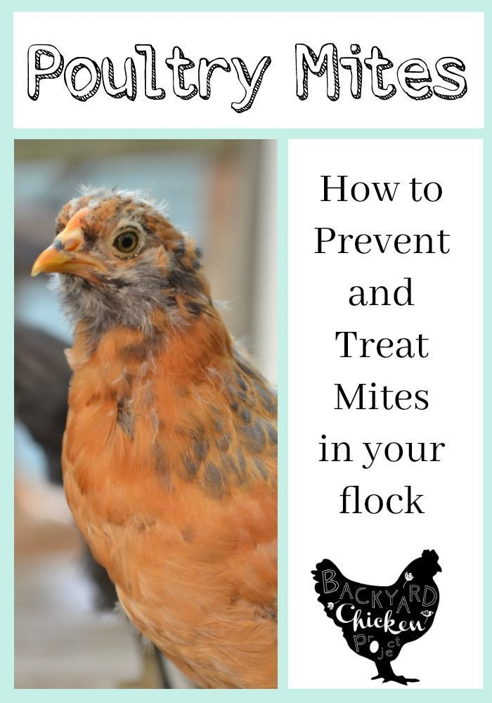 2168 Best Homestead Chickens Images On Pinterest