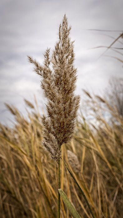 17 Best images about Phragmites on Pinterest | Water waste ...
